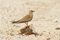 Collared Pratincole On The Turd. A Collared Pratincole (Glareola pratincola) sitting on some cow dung Stock Photography