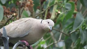Collared or Ring Neck dove stock video footage