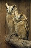 Collared Scops Owl Stock Image