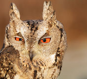 Collared scops-owl Royalty Free Stock Photo