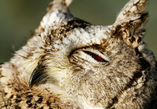 Collared scops-owl Stock Photography