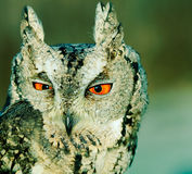 Collared scops-owl. Portrait of collared scops-owl (Otus bakkamoena). Color effect stock photography