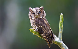 Collared Scops Owl birds. On the tree Royalty Free Stock Photos