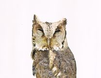 Collared scops owl isolated on white background Stock Image