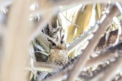 Collared Scops Owl (Otus lettia) looking at in nature stock photo