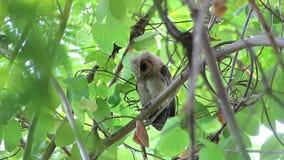 Collared scops owl Otus sagittatus Baby Birds of Thailand stock footage