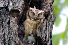 Collared scops owl Otus sagittatus Cute Birds Sleeping Stock Image