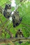 Collared scops sagittatus van uilotus Stock Afbeeldingen