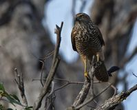 Collared Sparrowhawk  royalty free stock image