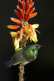 Collared Sunbird on Aloe Flower (Hedydipna collaris). A collared Sunbird perches on an Aloe Flower in South Africa, (Hedydipna collaris&#x29 Stock Photo