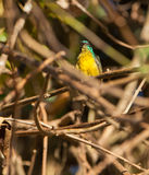 Collared Sunbird with dew drops Royalty Free Stock Image