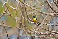 Collared Sunbird. Collared Green Sunbird on a branch Royalty Free Stock Photo