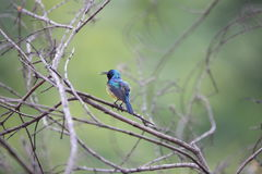 Collared sunbird Royalty Free Stock Images