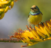 Collared Sunbird Stock Photo