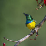 Collared Sunbird in Kruger National park, South Africa royalty free stock photo