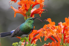 Collared Sunbird posing Royalty Free Stock Photos
