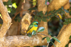 Collared Sunbird. Sitting on tree branch Stock Images