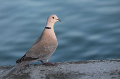 Collared turtle dove Stock Image