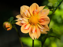 Collaretta Dahlia (E Z Duzzit) Flower and Bud Royalty Free Stock Images