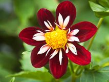 Collarette dahlia 'Mary Evelyn' Stock Photos
