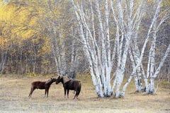 Collarino de dos caballos al lado del bosque de abedul en otoño Fotos de archivo