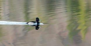Collaris Anneau-étranglés d'Aythya de canard de canard masculin au printemps Photographie stock libre de droits