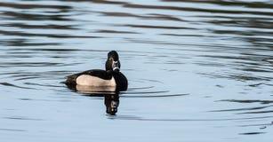 Collaris Anneau-étranglés d'Aythya de canard de canard masculin au printemps Image libre de droits