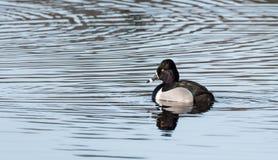 Collaris Anneau-étranglés d'Aythya de canard de canard masculin au printemps Photos libres de droits