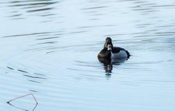 Collaris Anneau-étranglés d'Aythya de canard de canard masculin au printemps Images stock