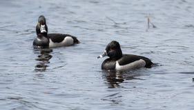 Collaris Anneau-étranglés d'Aythya de canards de canard masculin au printemps Photographie stock