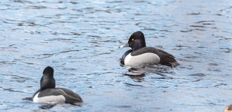 Collaris Anneau-étranglés d'Aythya de canards de canard masculin au printemps Image stock