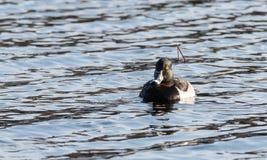 Collaris Anneau-étranglés d'Aythya de canards de canard masculin au printemps Photographie stock libre de droits