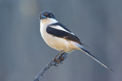 Collaris fiscaux communs de lanius de shrike Photos libres de droits