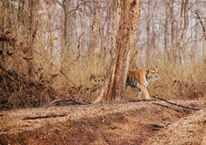 Collarwali Tigress in Pench National Park Royalty Free Stock Photo