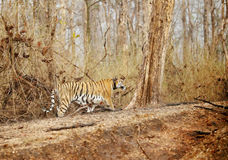 Collarwali Tigress in Pench National Park Royalty Free Stock Photos