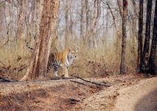 Collarwali tigress in Pench National Park Stock Photography