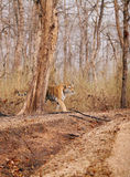 Collarwali tigress in Pench National Park Royalty Free Stock Image