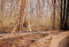 Collarwali tigress in Pench National Park Stock Photo