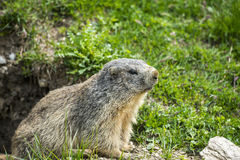 Colle dell'Agnello: groundhog closeup. Colle dell'Agnello (Val Varaita, Cuneo, Piedmont, Italy), closeup of a groundhog Royalty Free Stock Photography