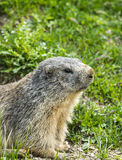 Colle dell'Agnello: groundhog closeup. Colle dell'Agnello (Val Varaita, Cuneo, Piedmont, Italy), closeup of a groundhog Royalty Free Stock Images