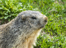 Colle dell'Agnello: groundhog closeup Stock Photography