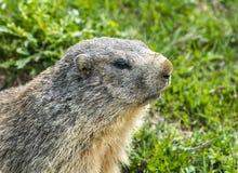 Colle dell'Agnello: groundhog zbliżenie Fotografia Stock
