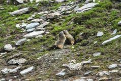 Colle dell'Agnello: två groundhogs Royaltyfri Fotografi