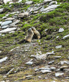 Colle dell'Agnello: two groundhogs playing Stock Images