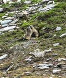 Colle dell'Agnello: two groundhogs playing. Colle dell'Agnello (Val Varaita, Cuneo, Italian Alps, Piedmont, Italy), two groundhogs playing Stock Images