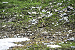 Colle dell'Agnello: two groundhogs. Colle dell'Agnello (Val Varaita, Cuneo, Piedmont, Italy), two groundhogs playing Stock Images
