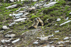 Colle dell'Agnello: two groundhogs. Colle dell'Agnello (Val Varaita, Cuneo, Piedmont, Italy), two groundhogs playing Royalty Free Stock Photography