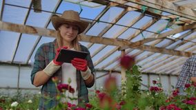 Colleagues florists work together with tablet computers in a rose-growing greenhouse. Small business doing flower check stock footage