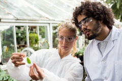 Colleagues inspecting leaf on petri dish. Male and female colleagues inspecting leaf on petri dish at greenhouse Royalty Free Stock Images
