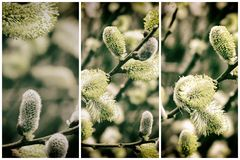 Colleciton van Willow Catkins Branch in de Lente vector illustratie